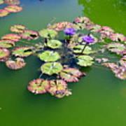 Lotus Flowers #4 Art Print