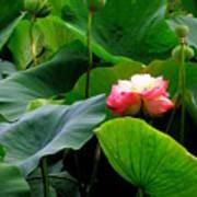 Lotus Forms Art Print