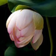 Lotus In The Evening  Art Print