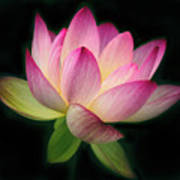 Lotus In The Limelight Art Print
