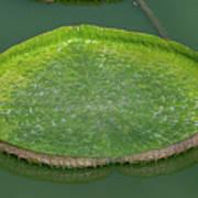 Lotus Leaf In The Marsh Art Print