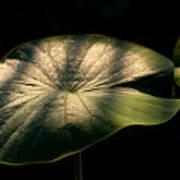 Lotus Leaves Morning  Shower Art Print