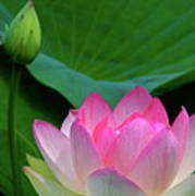 Lotus Siblings Art Print