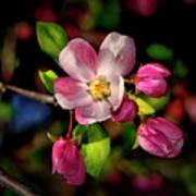 Louisa Apple Blossom 001 Art Print