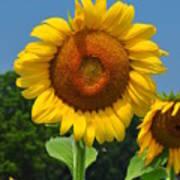 Louisa, Va. Sunflower 6 Art Print