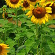 Louisa, Va. Sunflowers 3 Art Print