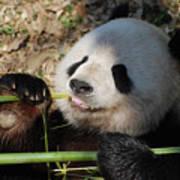 Lovable Giant Panda Bear With Big Paws Art Print