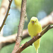 Lovable Little Budgie Parakeet Living In Nature Art Print