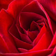 Love Is A Red Rose Art Print