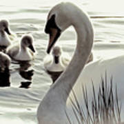 Love Of Mother Swan Art Print