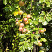 Lovely Apples On The Tree Art Print