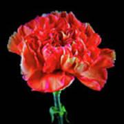 Lovely Carnation 12718-1 Art Print