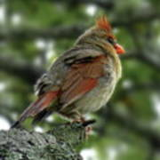 Lovely Female Cardinal Art Print