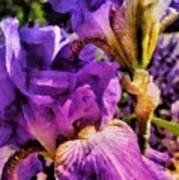 Lovely Iris Art Print
