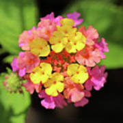 Lovely Lantana Art Print