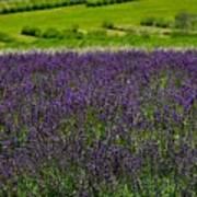 Lovely Lavender  Art Print
