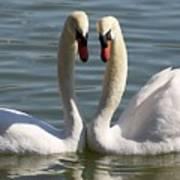 Loving Swans Art Print