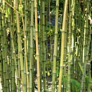 Lucky Bamboo Art Print