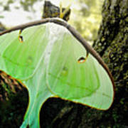 Luna Moth No. 3 Art Print