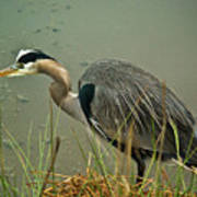 Lunch Time For The Heron Art Print