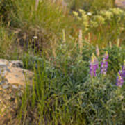 Lupine Among The Weeds  Art Print