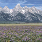 Lupine And Grand Tetons Art Print by Sandra Bronstein