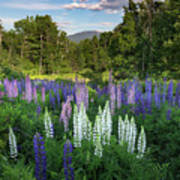 Lupine In The Valley Art Print
