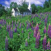 Lupines And Church Sugar Hill Art Print