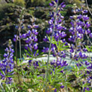 Lupines At The River Art Print
