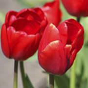 Luscious Tulips  Art Print