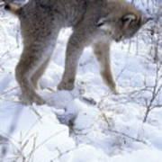 Lynx Captures Hare Art Print