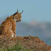 Lynx In Profile On Rock Looking Down Art Print