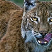 Lynx Licks Lips Art Print