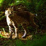 Lynx Rufus Art Print