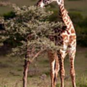 Maasai Giraffe - Giraffe Maasai Art Print