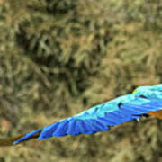 Macaw In Flight Art Print