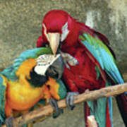 Macaw Love Art Print