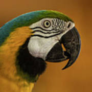 Macaw Portrait Art Print