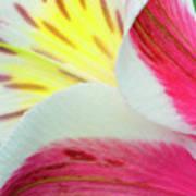 Macro Lily Art Print