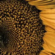 Macro Sunflower Art Print
