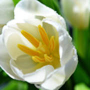 Macros White Tulip May-2011 Art Print