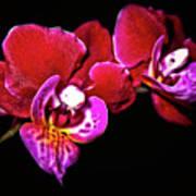 Magenta Phaleonopsis Orchid Art Print