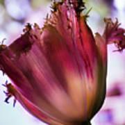 Magenta Tulip Art Print