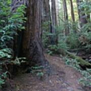Magical Path Through The Redwoods On Mount Tamalpais Art Print