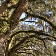 Magnificant Live Oak Trees Color Art Print
