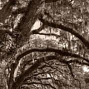 Magnificant Live Oak Trees  Art Print