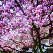 Magnificant Magnolias Art Print