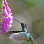Magnificent Hummingbird A Art Print