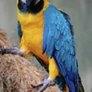 Magnificent Macaw Art Print