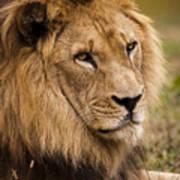 Magnificent Male Lion Art Print